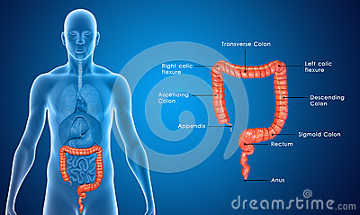 Large Intestine Blue Labelled Stock Illustration Image