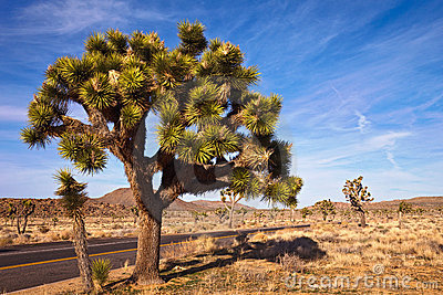 Large Joshua Tree