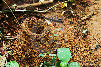 Large jungle ant hill