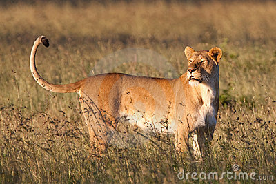 Large lioness