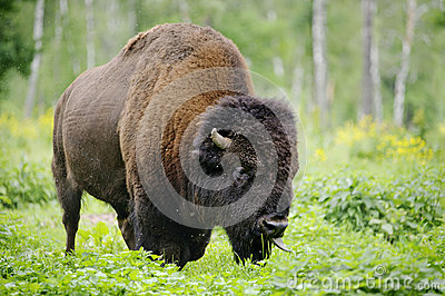 Large male of bison in national park Priokskiy