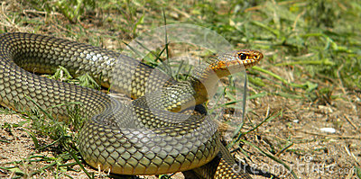 Large male of Dolichophis caspius under attack