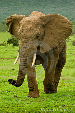 Large male elephant