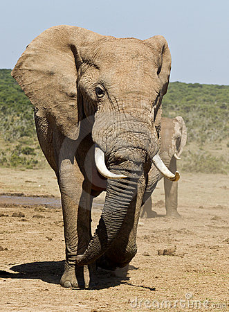 Large male elephant walking