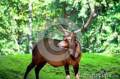 Large Male Elk
