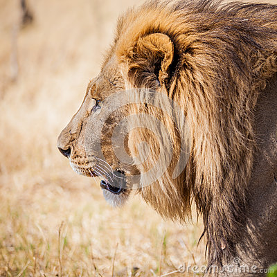 Free Large Male Lion On Prowl In Africa Grasslands Royalty Free Stock Images - 73256519