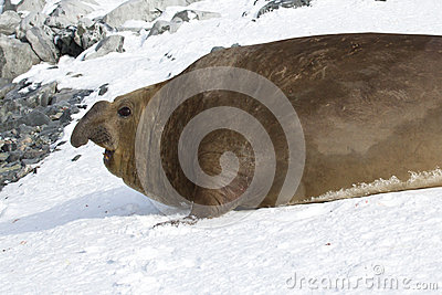 Large male southern elephant seal who crawled through the snow t