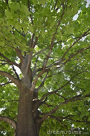 Large maple tree