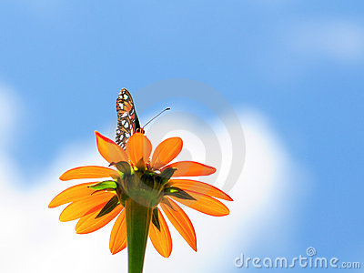 Large Mexican Sunflower