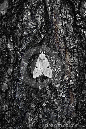 Large moth on bark of  tree