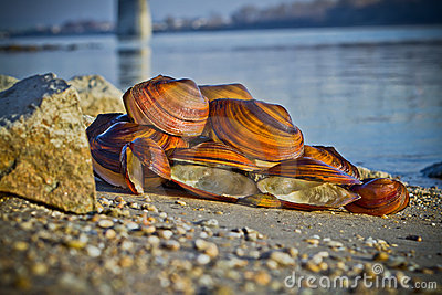 Large mussel shells