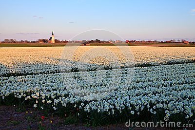 Large narcissus field in spring