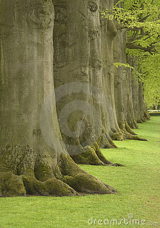 Large oak trees