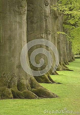 Large oak trees