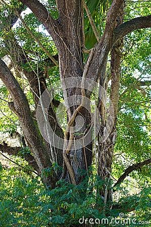 Large oak with vine