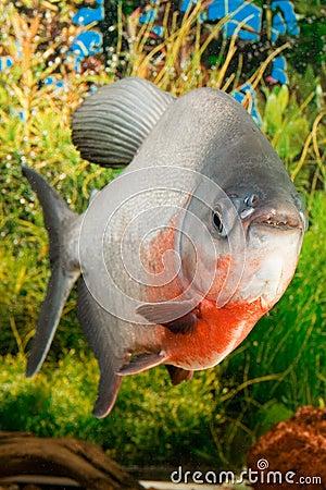Large Paku fish