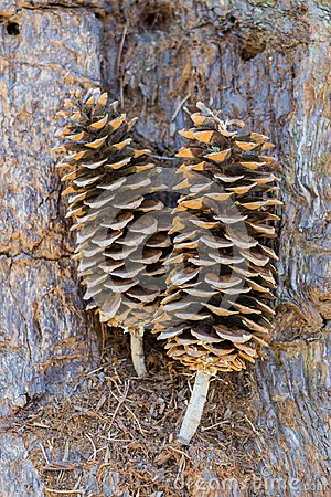 Free Large Pine Cones Sitting On Bark Stock Photography - 101312072