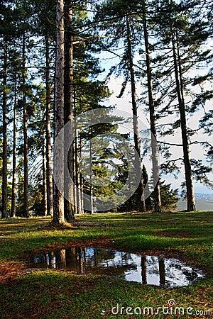 Large pine trees