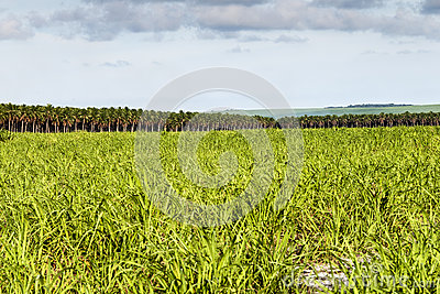 Large plantation of sugarcane and coconut