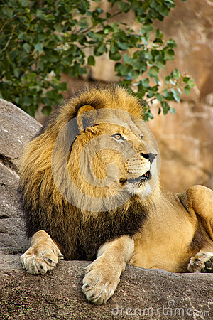 A Large Powerful Lion Rests On Tall Boulder At Sun