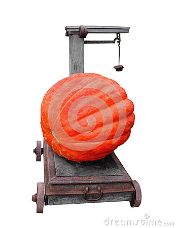 Large pumpkin on a cart scale isolated.