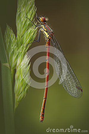 Free Large Red Damselfly Stock Photo - 25513660