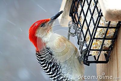 Large red-headed woodpecker