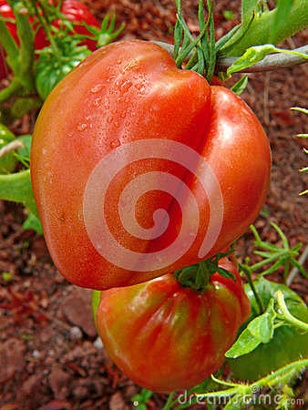 Free Large Red Ox Heart Tomato . Royalty Free Stock Photos - 44920208