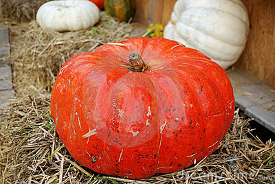 Large red ripe pumpkin
