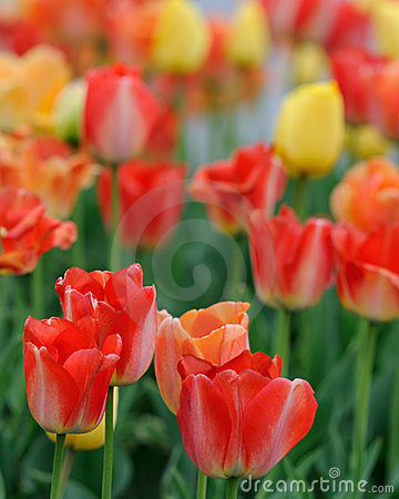 Free Large Red Tulips Royalty Free Stock Image - 12090616