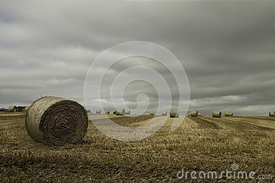 Large round bales of straw