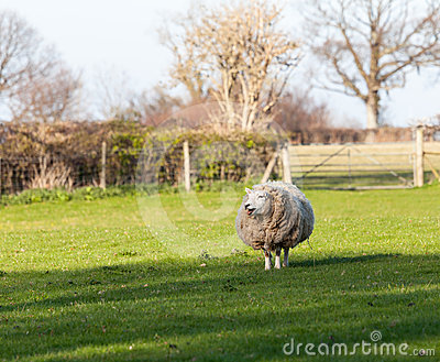 Large round sheep in meadow in Wales