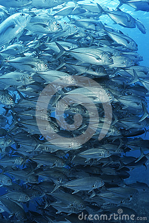 Free Large School Of Bigeyed Trevally Fish Royalty Free Stock Photos - 30848578