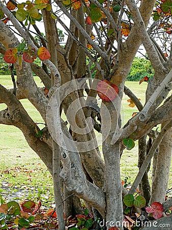 Free Large Seagrape Tree Stock Photo - 44023240