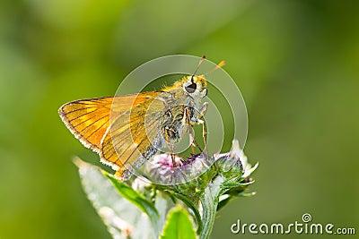 Large Skiper (Ochlodes sylvanus) butterfly