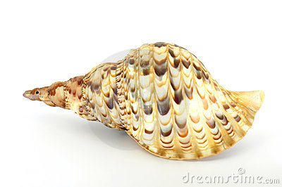 Large spiral shell back view