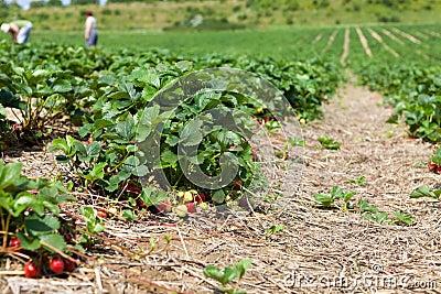Large strawberry field