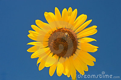 Large sunflower on blue sky