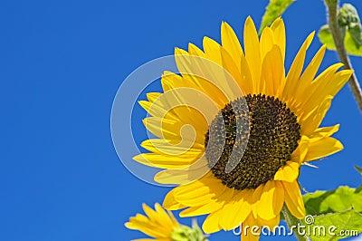 Large sunflower on blue sky