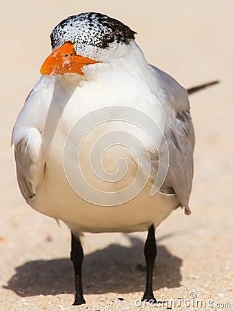 Large tern
