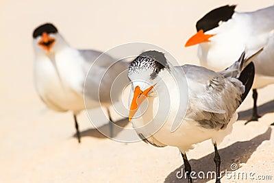 Large terns