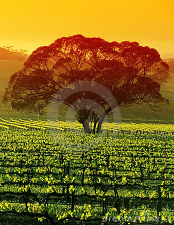 Free Large Tree In Vineyard Royalty Free Stock Photo - 1308965