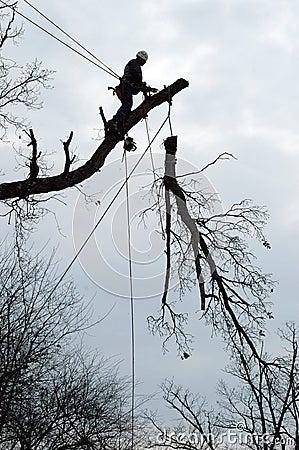 Large tree take down