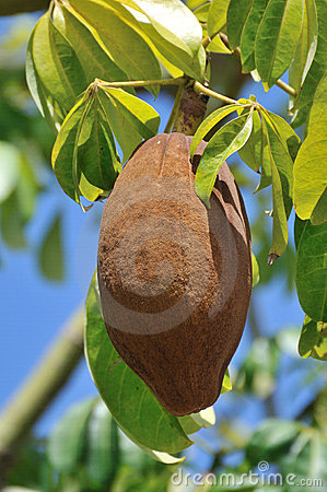Large tropical fruit in tree