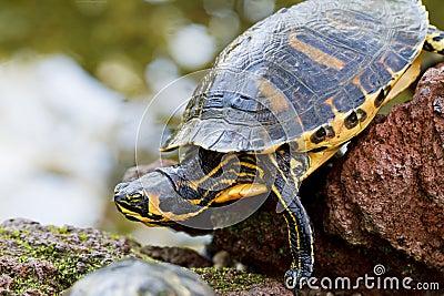 Large turtle on rocks