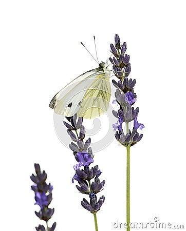 Free Large White, Pieris Brassicae Stock Photography - 53535932