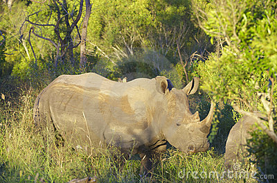 Large white rhinoceros