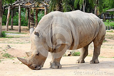 Large white (square-lipped) rhinoceros (Ceratothe