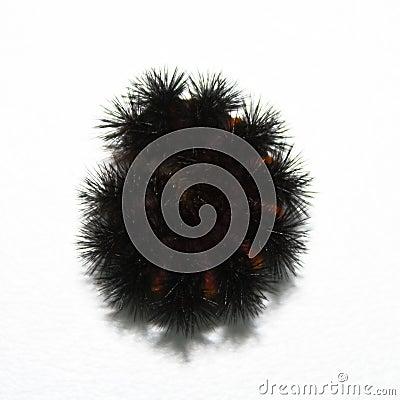Free Large Woolly Caterpillar Royalty Free Stock Photos - 6505368
