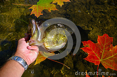 Largemouth Bass Lipped By Angler Fishing